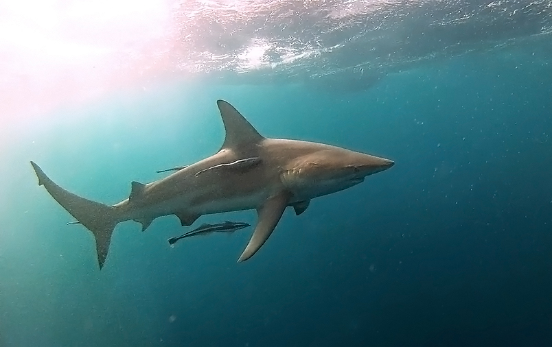 Blacktip shark South Africa