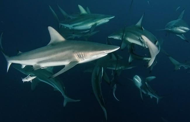Shark Dive Aliwal
