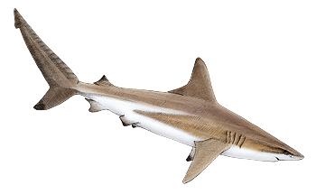 spinner shark vs blacktip
