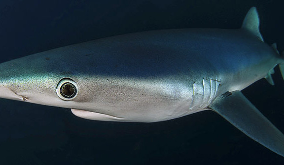 Blue-Shark-South-Africa
