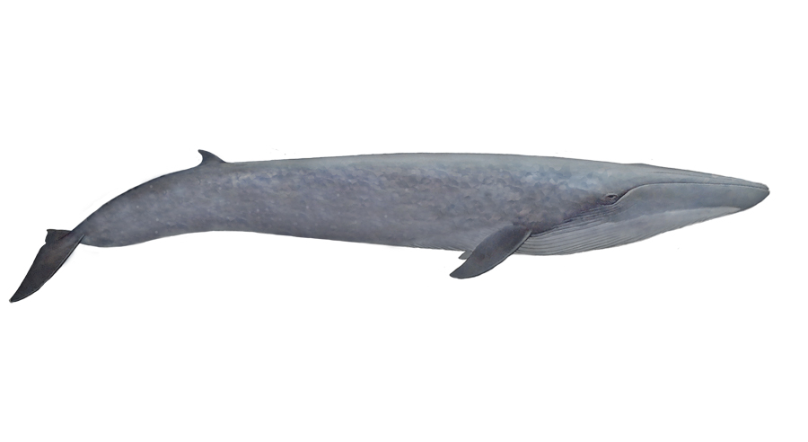 Blue Whale South Africa