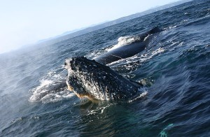 Boat based whale watching South Africa
