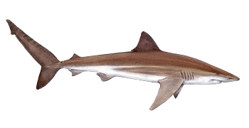 Bronze Whaler / Copper Shark