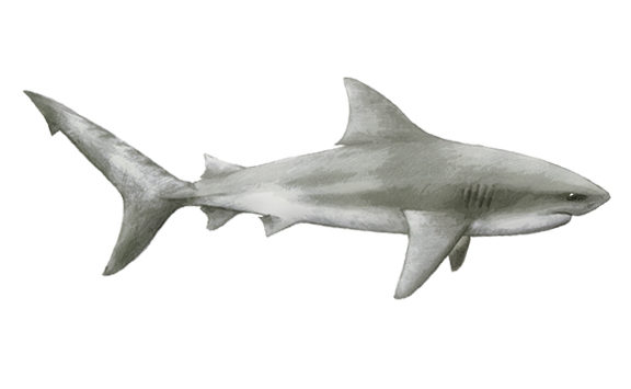 Bull Shark South Africa