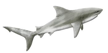 Bull-Shark-Zambezi-ID