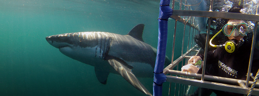Cage-Diving-South-Africa-1