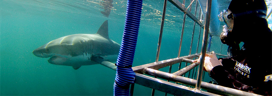 Cage-Diving-South-Africa1