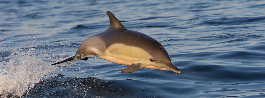 Common-Dolphin-South-Africa