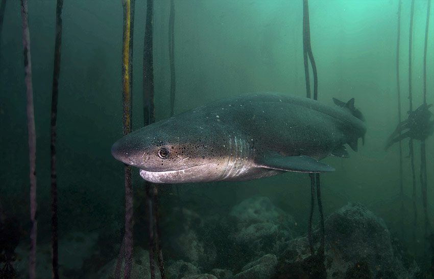 Sevengill Cow Shark dives