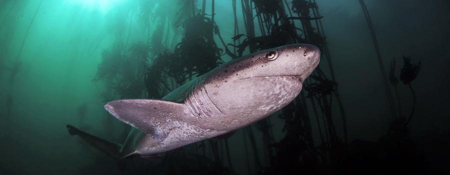 Sevengill Cow Sharks Cape Town