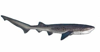 Sevengill Cow Shark