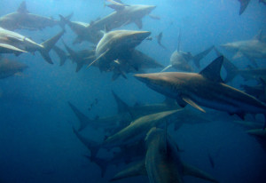 Diving with Blacktip sharks on Aliwal Shoal
