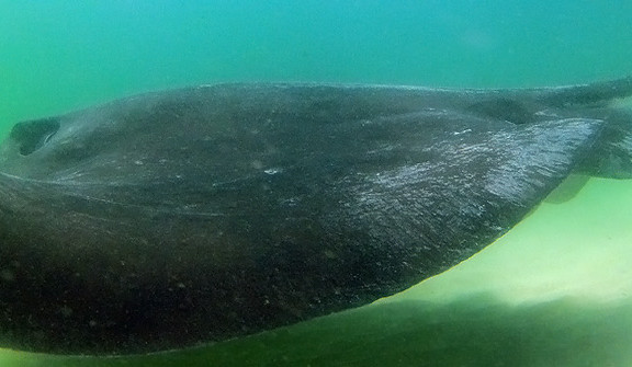 Dive with Giant Stingrays