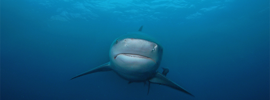 Dive-with-Bull-Sharks