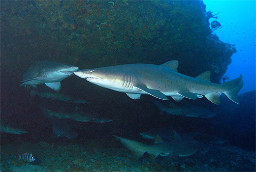 Ragged Toothed Sharks South Africa