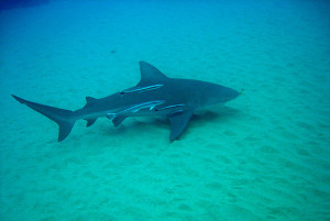 Bull ( Zambezi ) Shark Diving