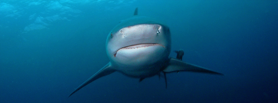 Diving-with-Bull-Sharks