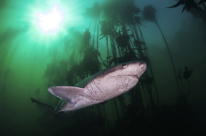 Cow Shark Diving