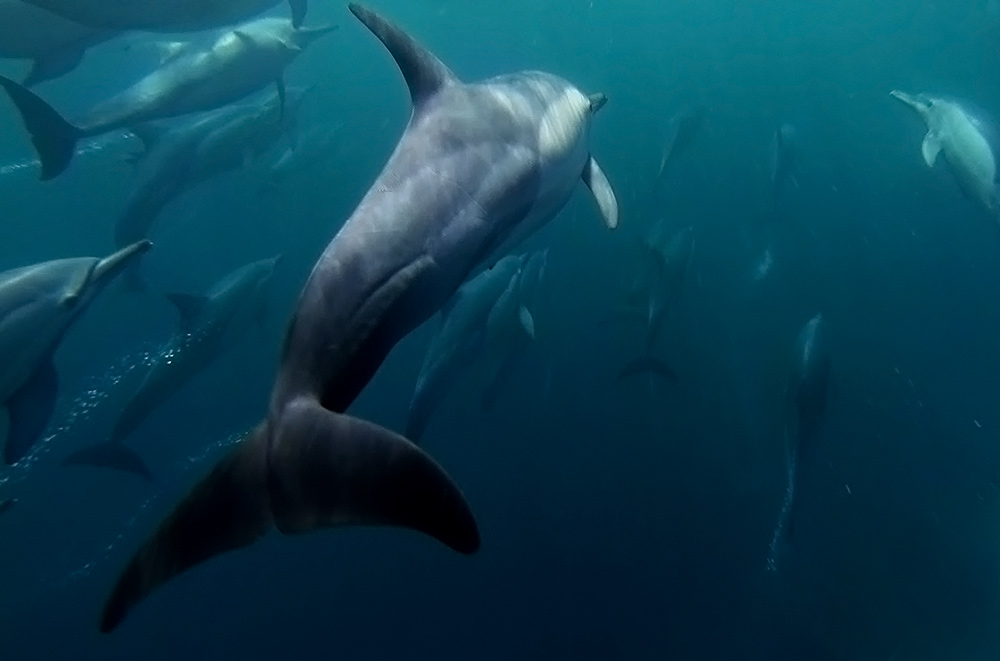 Common Dolphins on th eSardine Run