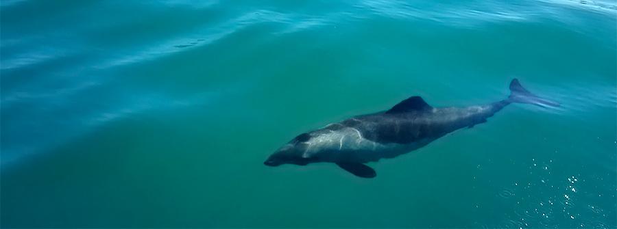Dusky-Dolphins-Cape-Town