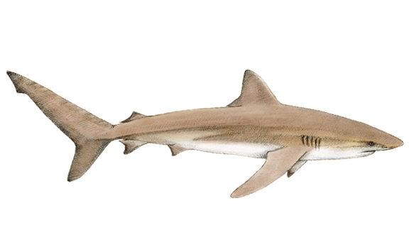 Dusky Shark South Africa