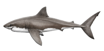 Shark Id, Biology and Behavior