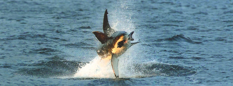 Great-white-shark-predation