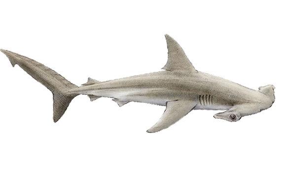 Hammerhead Sharks South Africa