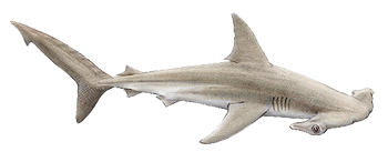Hammerhead-Shark-ID