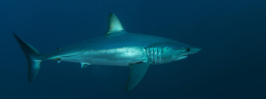 Mako-Shark-South-Africa