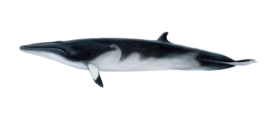 Minke Whale South Africa