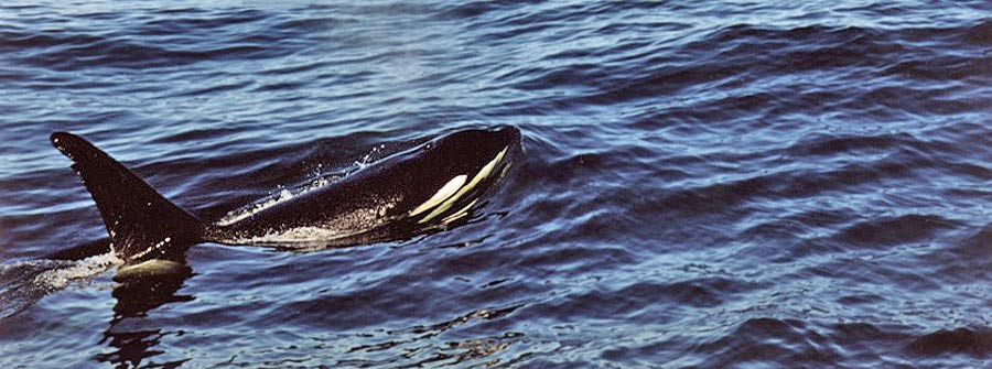 Orca-in-South-Africa