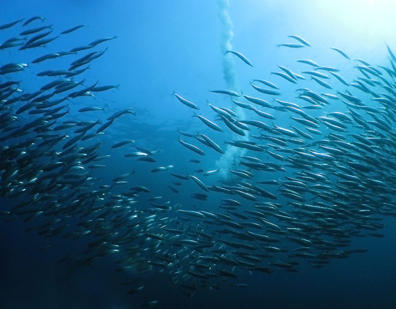 Dive The Sardine Run