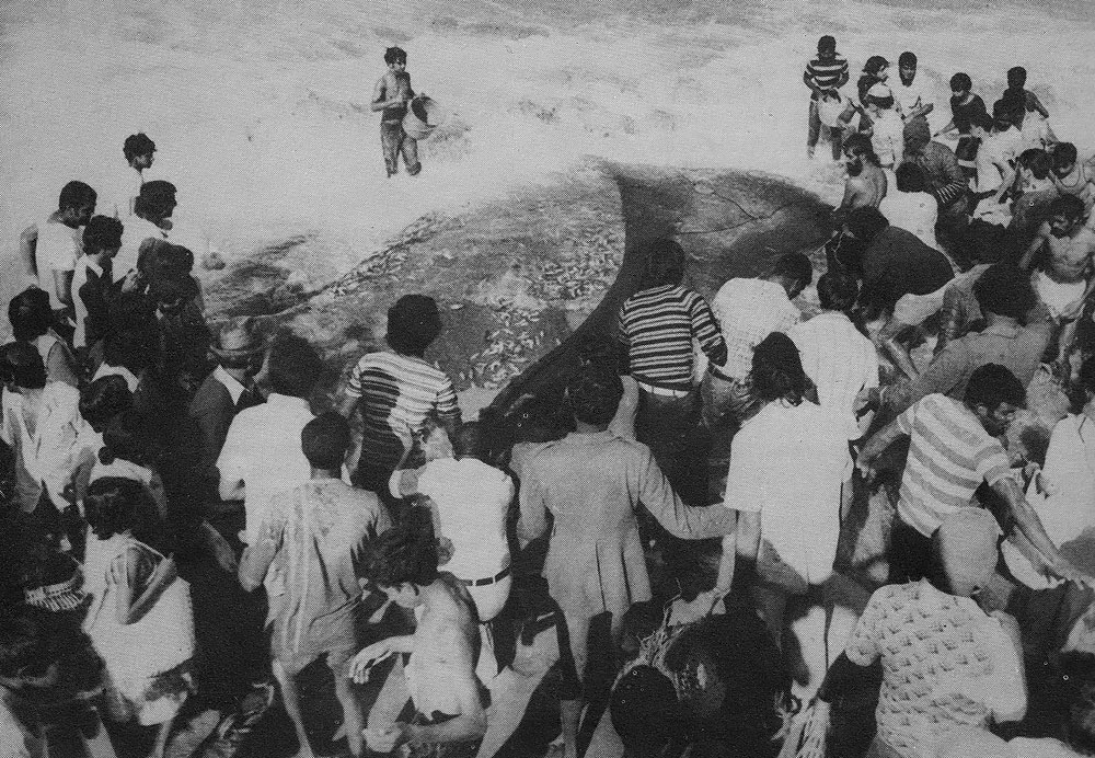 Sardine Run Catch in 1940's