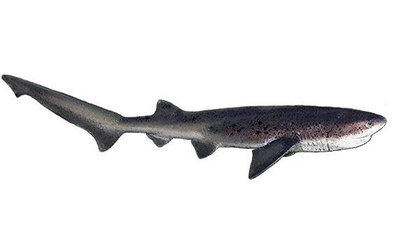 Broadnose Sevengill cow shark