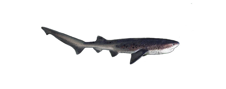Broadnose Sevengill cow shark