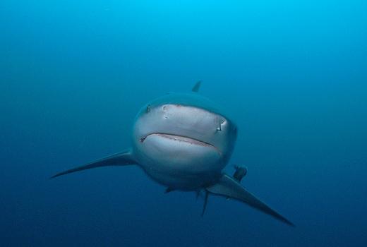 Bull Shark Zambezi - Oceans Africa Diving & Whale Watching