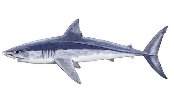 Mako Shark South Africa
