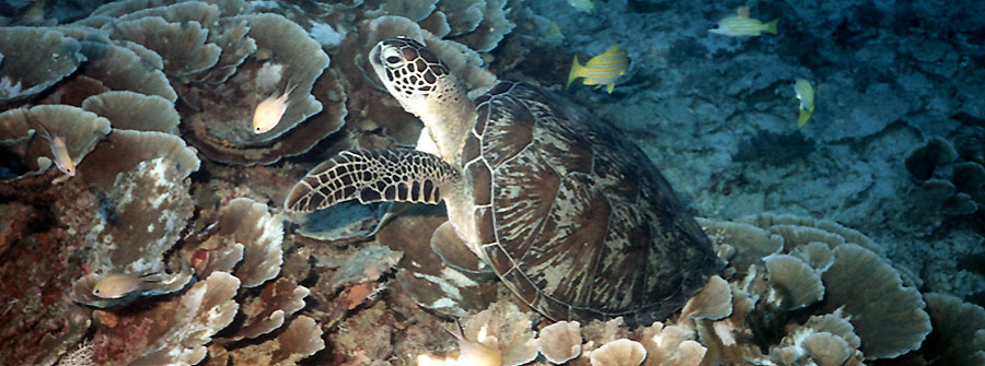 Sodwana-Bay-Turtle