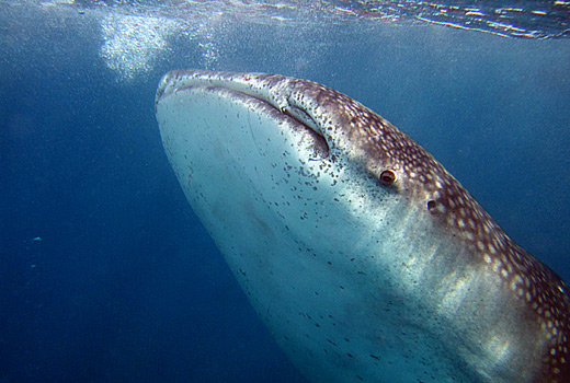 Whale Sharks South Africa