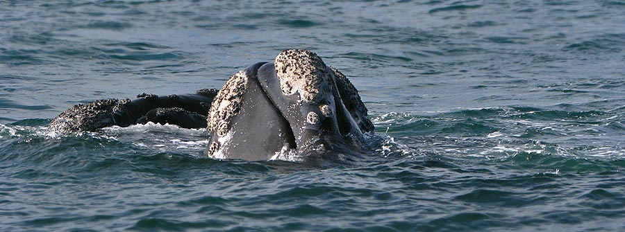 Southern-right-Whale-Calosities