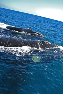 Southern right whales seen from the boat