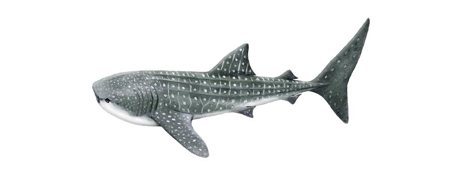 Whale Shark South Africa