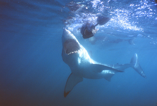 White_Shark_Dive