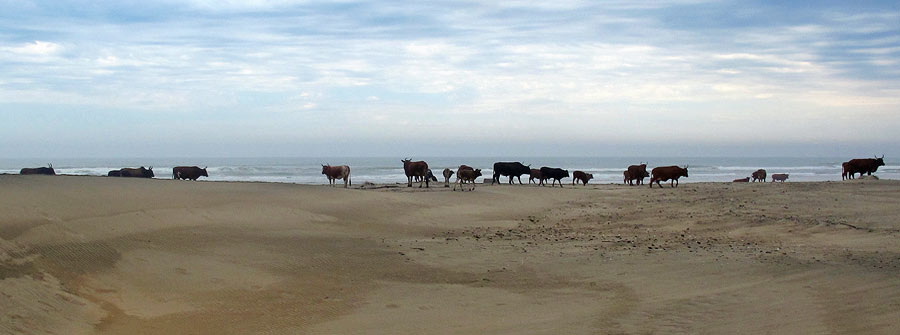 Wildcoast-Cows-on-the-beach-
