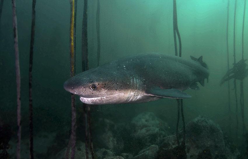 Sevengill Cow Shark dives
