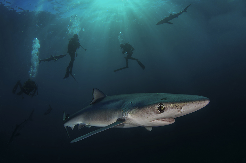 Dive with blue sharks