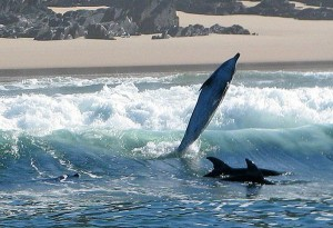 Dolphin watching tours and charters South Africa