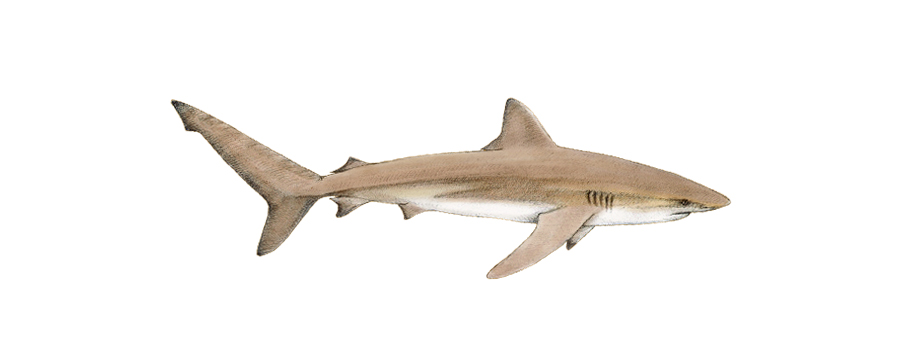 Dusky Shark South Africa