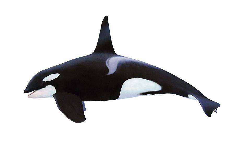 Orca / Killer Whale South Africa